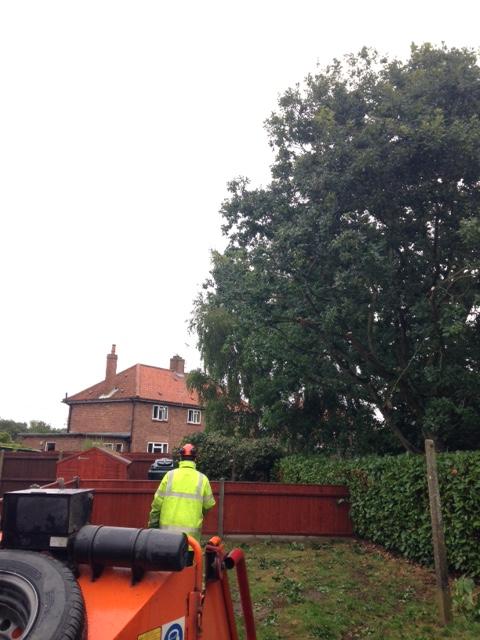 Oak Tree Crown Reduction in Norfolk