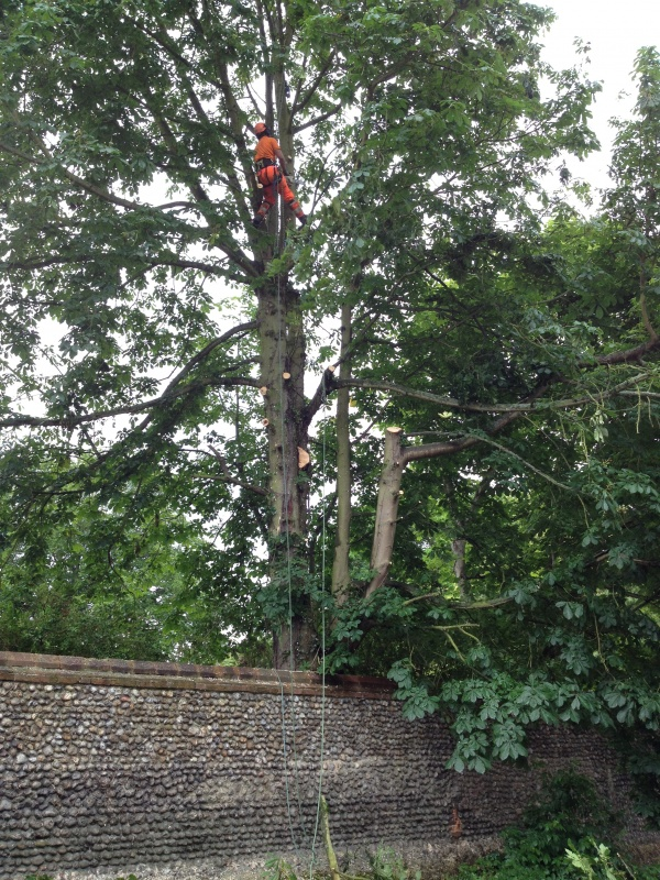 Fred Dismantling the Horse Chestnut Tree