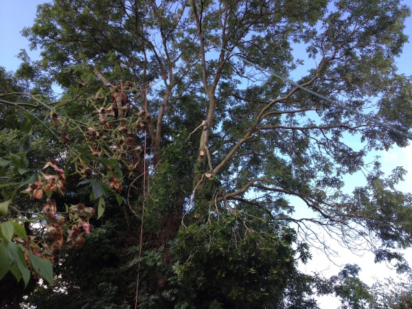 Our Tree surgeons in Watton, Norfolk,  Ash Tree Dismantle